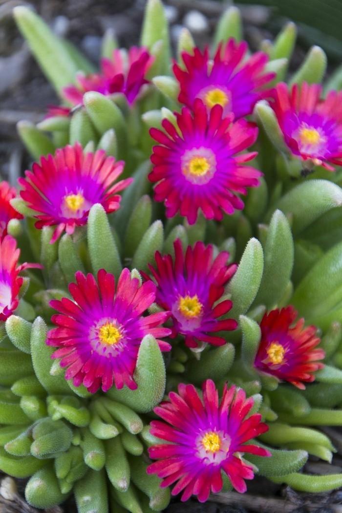 sukkulenten arten Delosperma cooperi schöne blüte