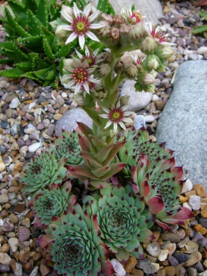 sukkulenten deko arten Hauswurz Sempervivum calcareum