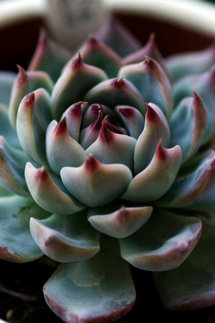 sukkulenten deko ideen arten Echeveria