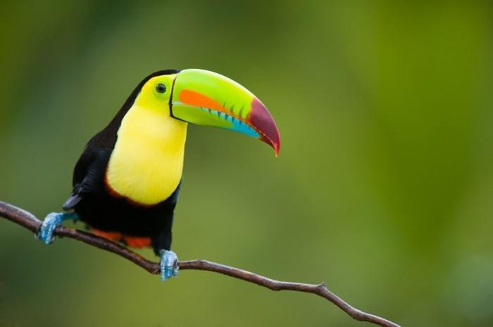 tukan regenwald