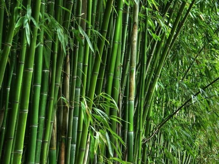 bambus ist eine art gras