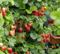 Alles über die saftigen roten Früchte – Erdbeeren Nährwerte und weitere leckere Geheimnisse!