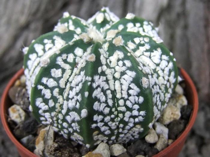 kakteen arten Astrophytum deko ideen