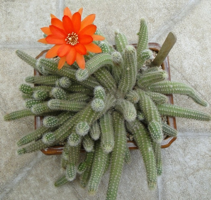 kakteen arten Chamaecereus blüte