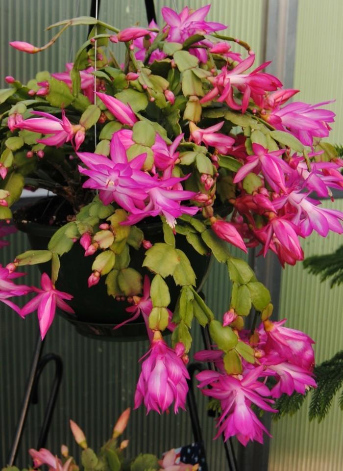 kakteen arten Schlumbergera ausgefallene lila blüten