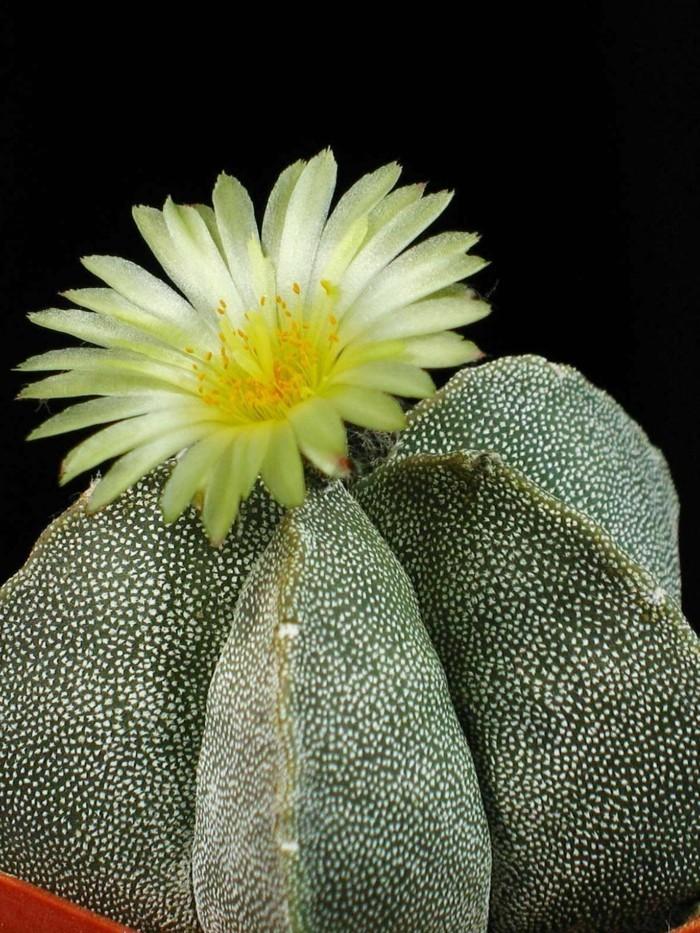 kakten arten Astrophytum pflanztopf blüte