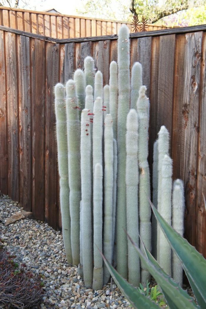 sukkulenten arten Cleistocactus hinterhof gestalten