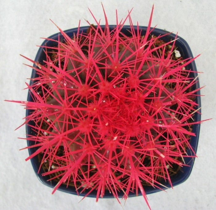 sukkulenten arten Echinocactus ausgefallene farbe