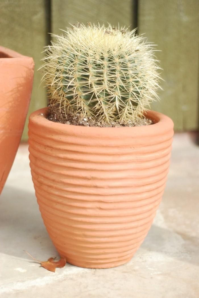 sukkulenten arten Echinocactus pflanztopf
