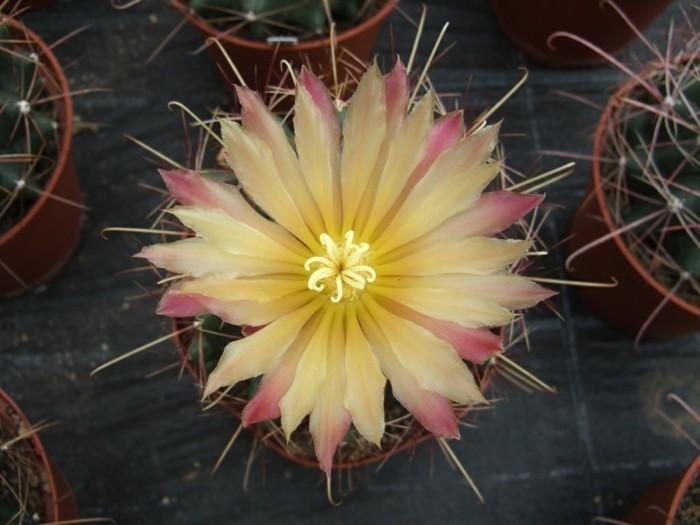sukkulenten arten Hamatocactus wunderschöne blüte