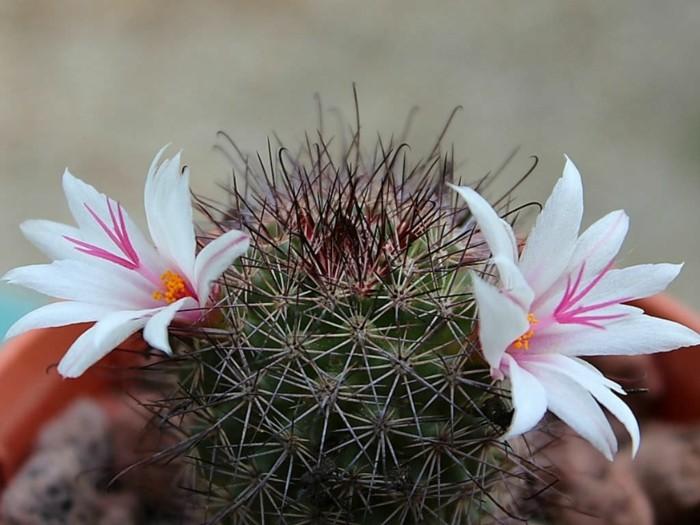 sukkulenten arten Mammillaria fraileana blüten
