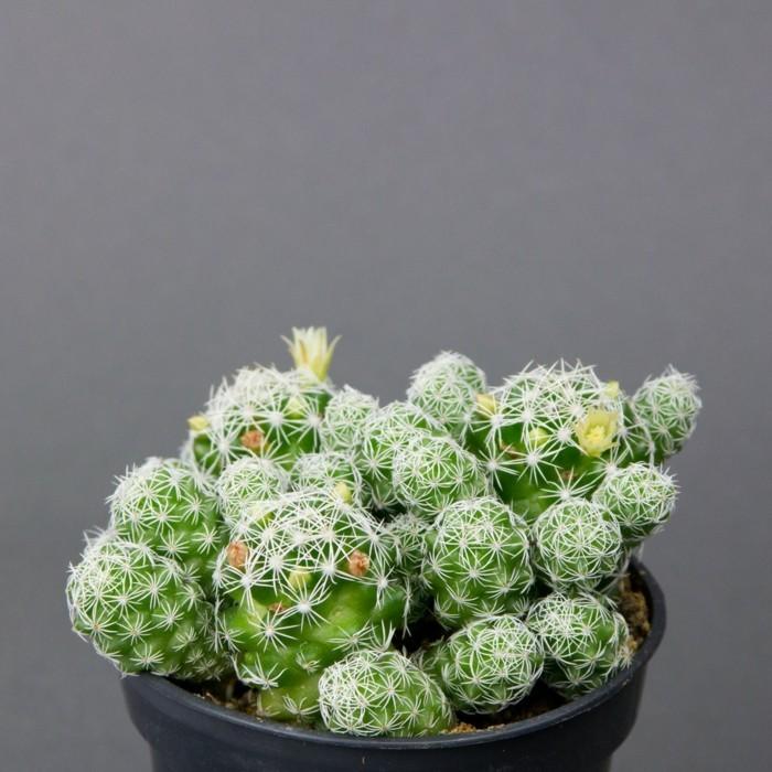 sukkulenten arten Mammillaria kaktus