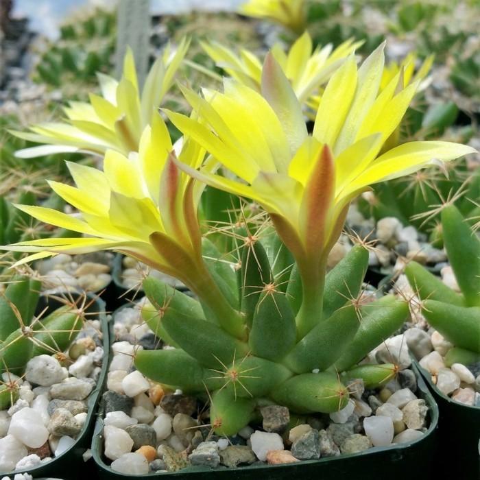 sukkulenten arten zimmerpflanzen ideen