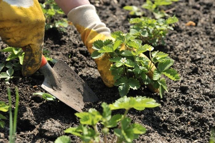wie soll man erdbeeren einpflanzen