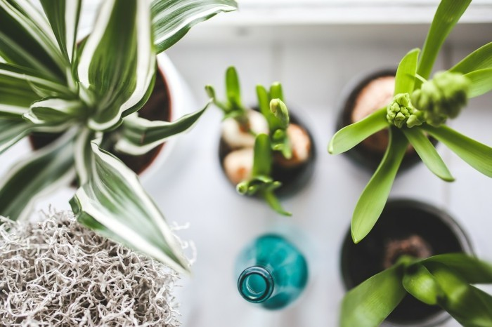 zimmerpflanzen und frühlingsblumen zu hause pflegen narzissen hyazinthen