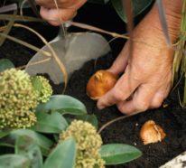 Von der Einpflanzung bis zum Tulpenstrauß – Wie pflegt man Tulpen richtig?