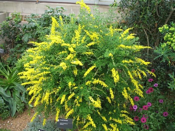 Cytisus Spachianus pflanze