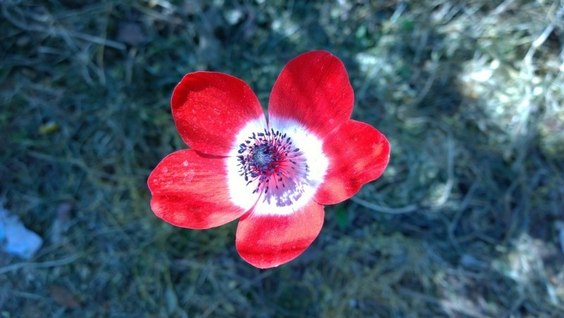 anemone rot weiss