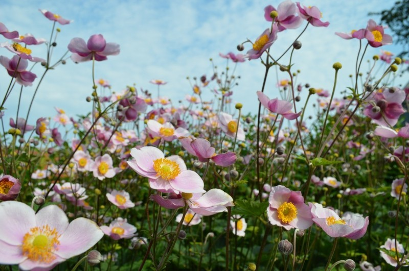 anemones 2189017 1280
