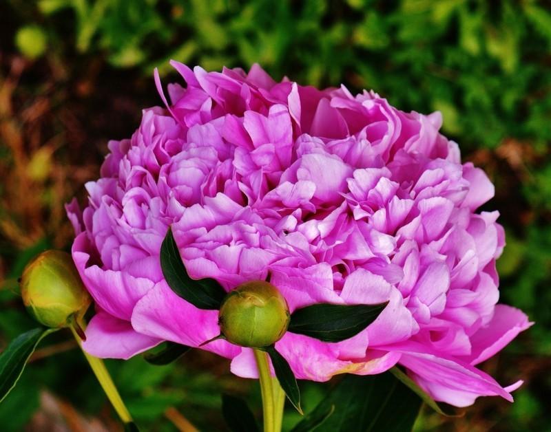 blüte pfingstrose garten frühlingsblumen