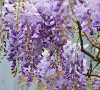 Blauregen – üppigen Blütenschmuck im Garten pflegen