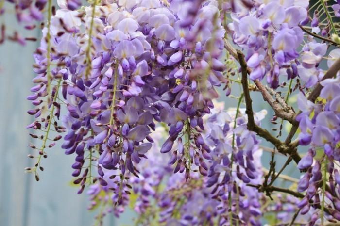 blauregen in violett gartenideen mit wunderschönen pflanzen