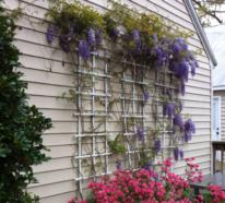Blauregen Uppigen Blutenschmuck Im Garten Pflegen