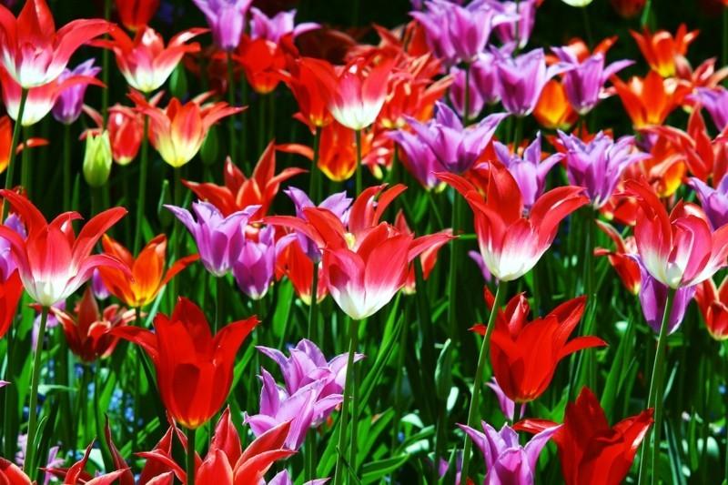 blumenfeld bunte tulpen im frühling