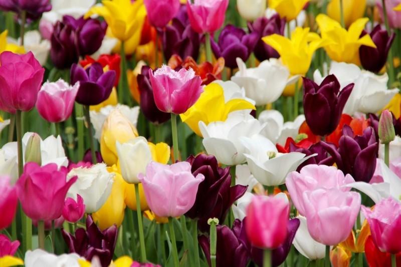 bunte frühlingsblumen tulpen