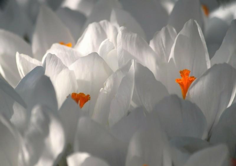 crocus weisse krokusse frühlingsblumen