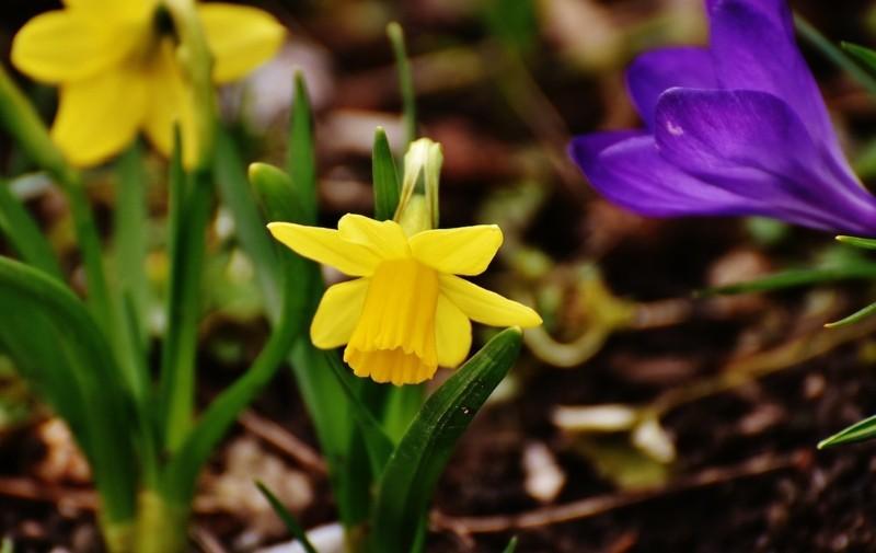 daffodils 2162841 1280