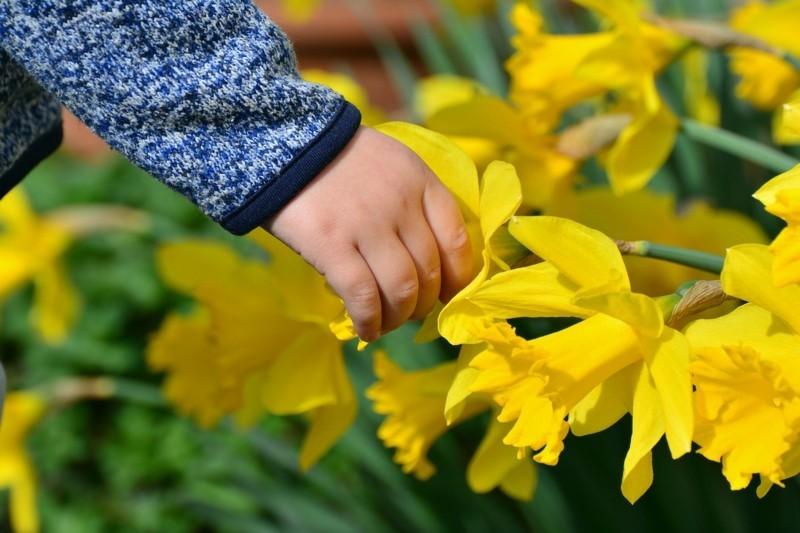 daffodils 2173951 1280