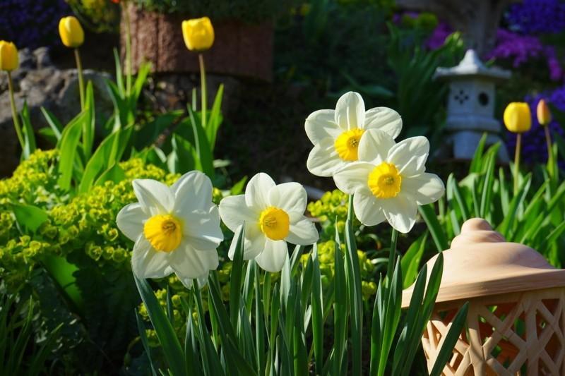 daffodils 324392 1280