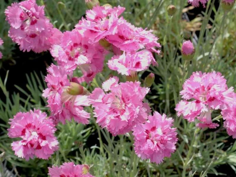 federnelke pink gartengestaltung pflanzen frühlingsblumen