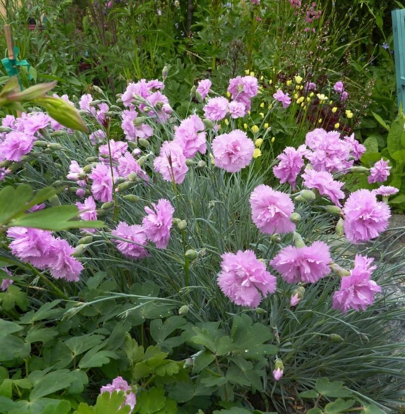 federnelken gartengestaltung frühlingsblumen