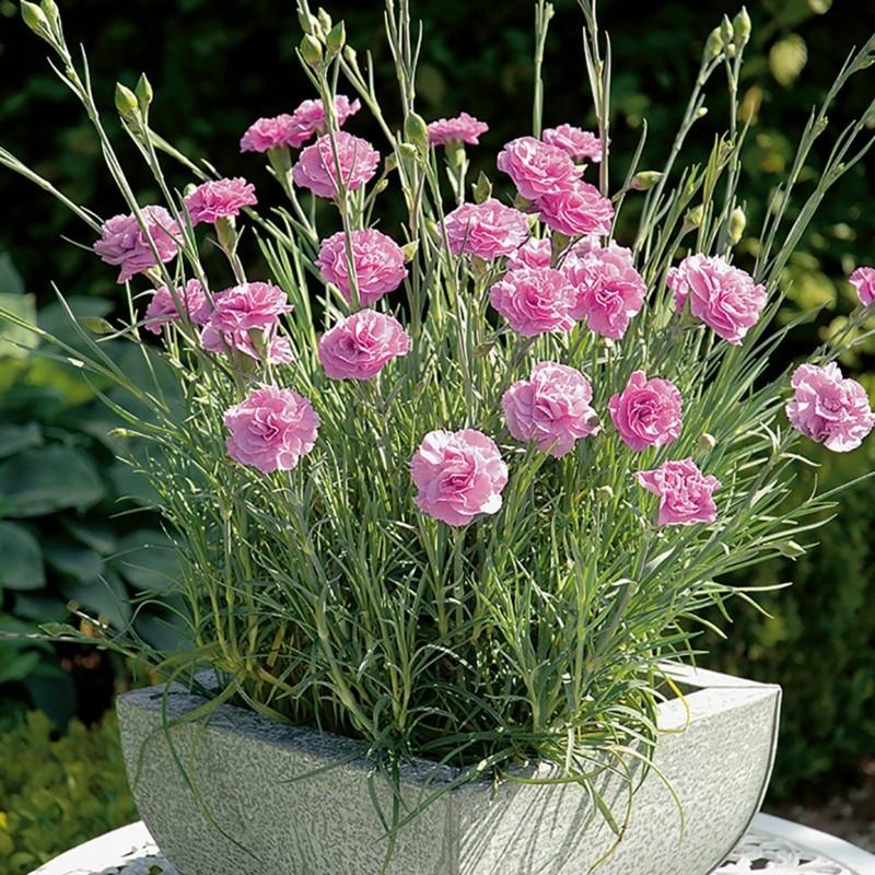 federnelken topfblumen rosa gartengestaltung mit frühlingsblumen