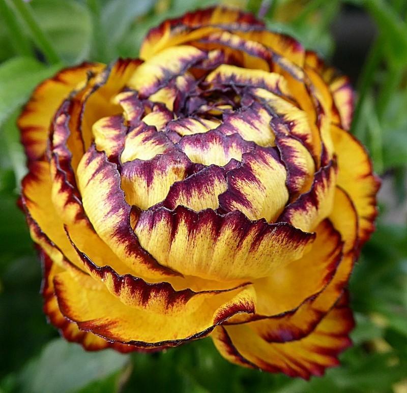 flower power ranunkel rot gelb