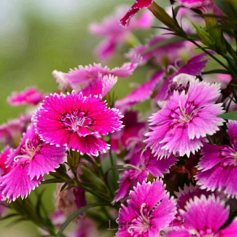 frühlingsblumen federnelken pink gartenblumen