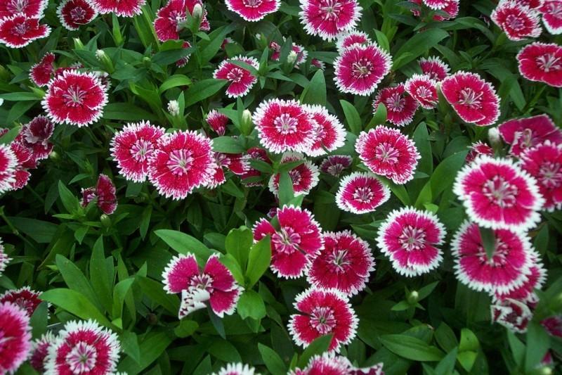 frühlingsblumen ideen federnelken im garten