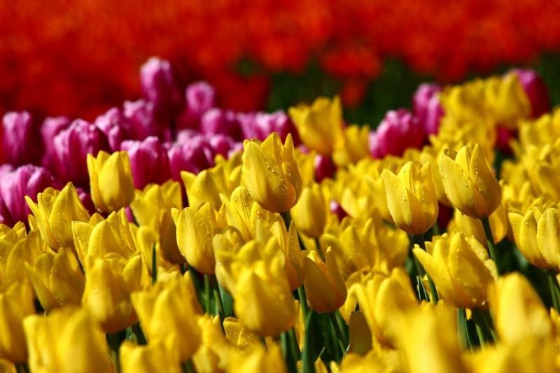 frühlingsblumen tulpen gelb rosa
