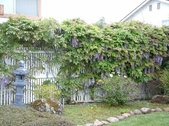 gartenpflanzen gartenzaun mit wisterie dekorieren