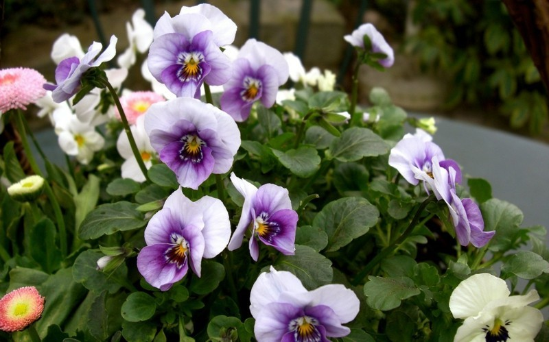 hornveilchen stiefmütterchen frühlingsblumen
