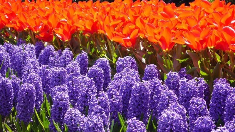 hyacinth 253456 1280