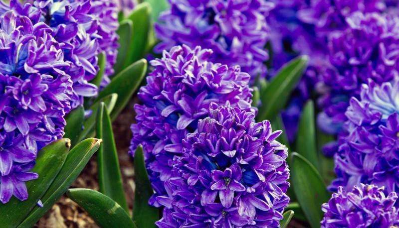 hyacinth blau blumen frühling
