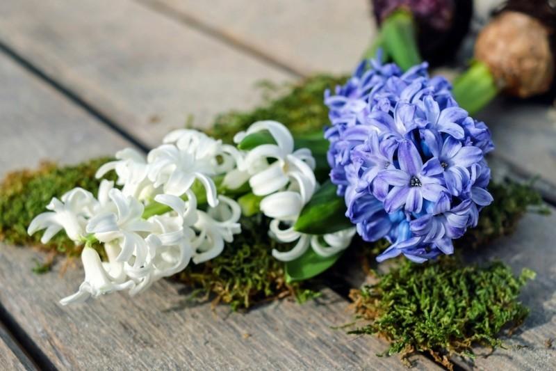 hyacinth weiss blau moos
