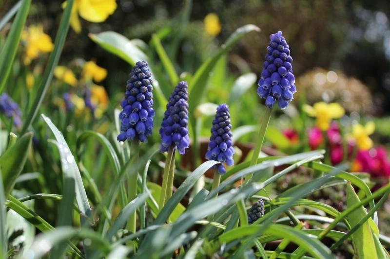 hyacinth wild blau frühlingsblumen