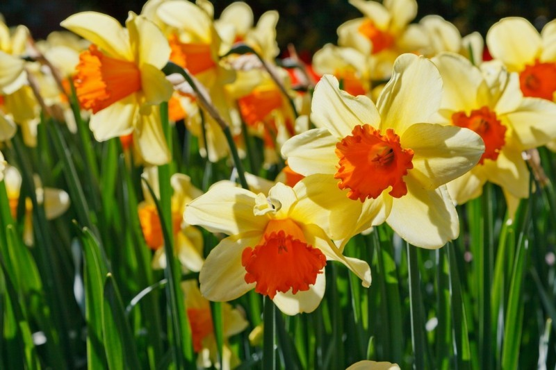 light daffodils spring flower