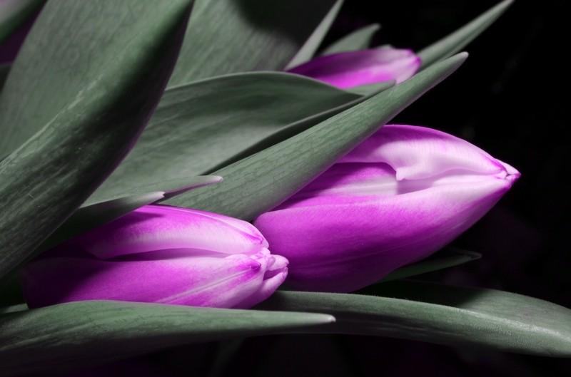 lila tulpen blumenstrauß