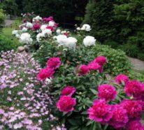 Gönnen Sie sich ländliche Pracht im Garten mit den fabelhaften Pfingstrosen