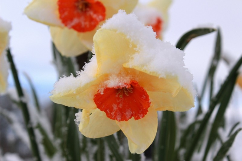 narcissus spring flower snow